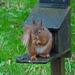 Red squirrel  by shirleybankfarm