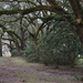 Forest of live oaks by congaree
