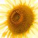 Sunburst  by nicolecampbell