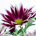 Purple Chrysanthemum by elisasaeter