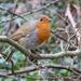 A very friendly Robin.... by snowy