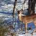 One of our deer friends by tracys