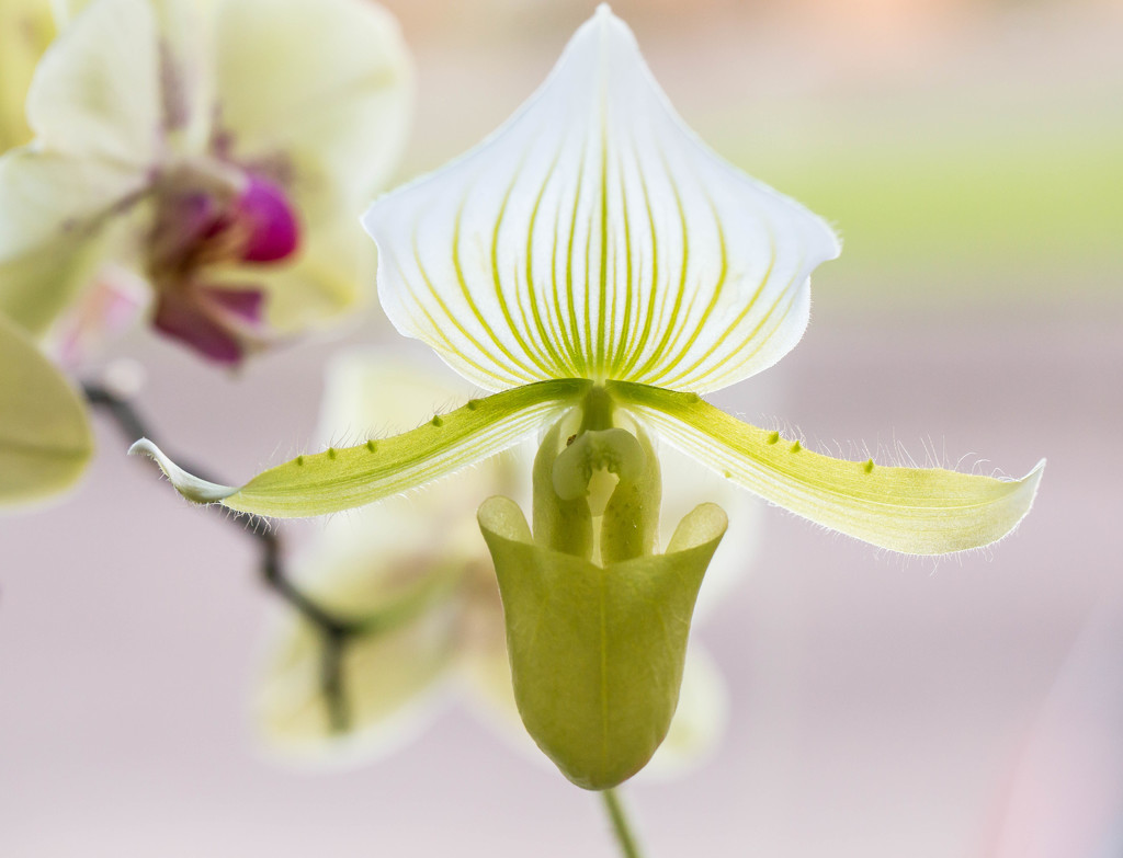 2016 01 28 - Slipper Orchid by pamknowler