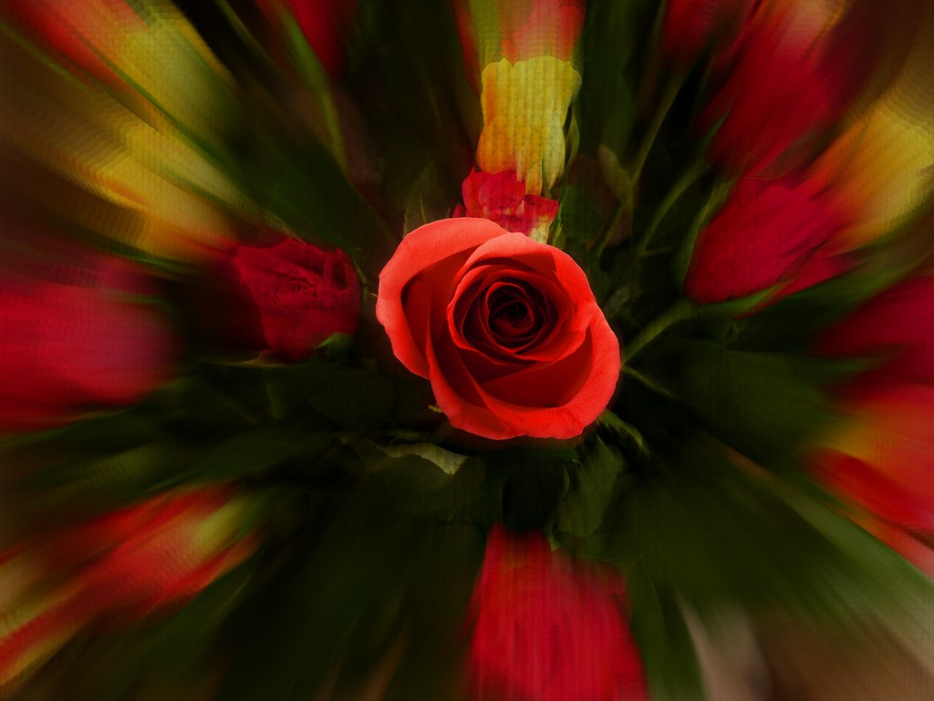 Roses by judithdeacon