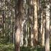 Majestic Karri Trees...._DSC2190 by merrelyn