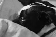 30th Jan 2016 - Pensive Piki Dog