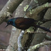 The Grackles are Back!