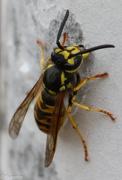 30th Jan 2016 - Wasp