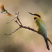Bee eater delight by flyrobin