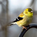 A Gold Goldfinch! by milaniet