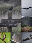 30th Jan 2016 - Birds of Cali