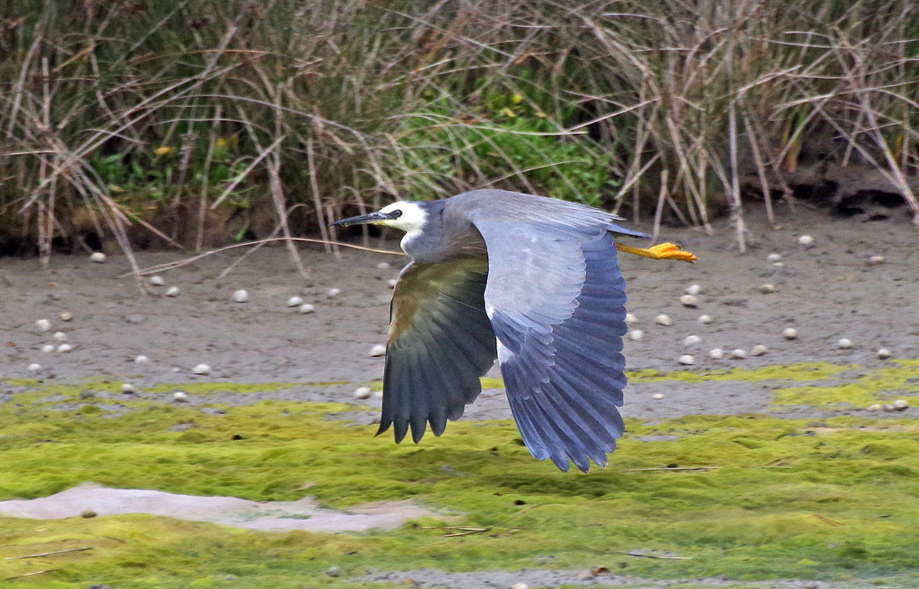 Downward wing sweep - white faced heron by maureenpp