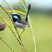 Superb Fairy Wren 1 by terryliv