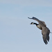 Canada Goose by gardencat
