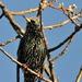 Single starling