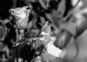 3rd Feb 2016 - Roses