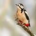 Woody Woodpecker by shepherdmanswife