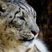 My Life-Long Favo(u)rite Big Cat