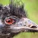Edmund the Emu by swillinbillyflynn