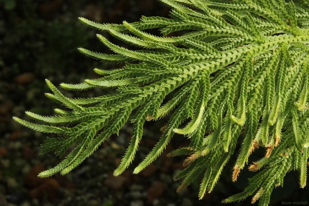 """Selaginella"" by rhoing"