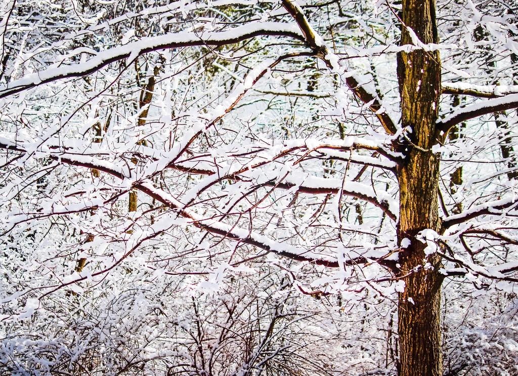 Snowy Maple by mzzhope