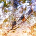 American Robins on the move!