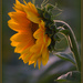 Sunflower in the sunshine by dide