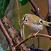 GOLDCREST GALLERY -TWO by markp