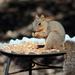 Squirrel_91:365 by gaylewood