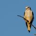 Blackshouldered Kite by salza