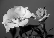 7th Feb 2016 - Sunlit Roses