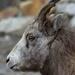 bighorn ewe