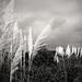Abbotsbury Swannery Pampas Grass