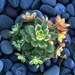 Succulent by jaybutterfield