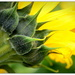 Sunflower from behind... by julzmaioro