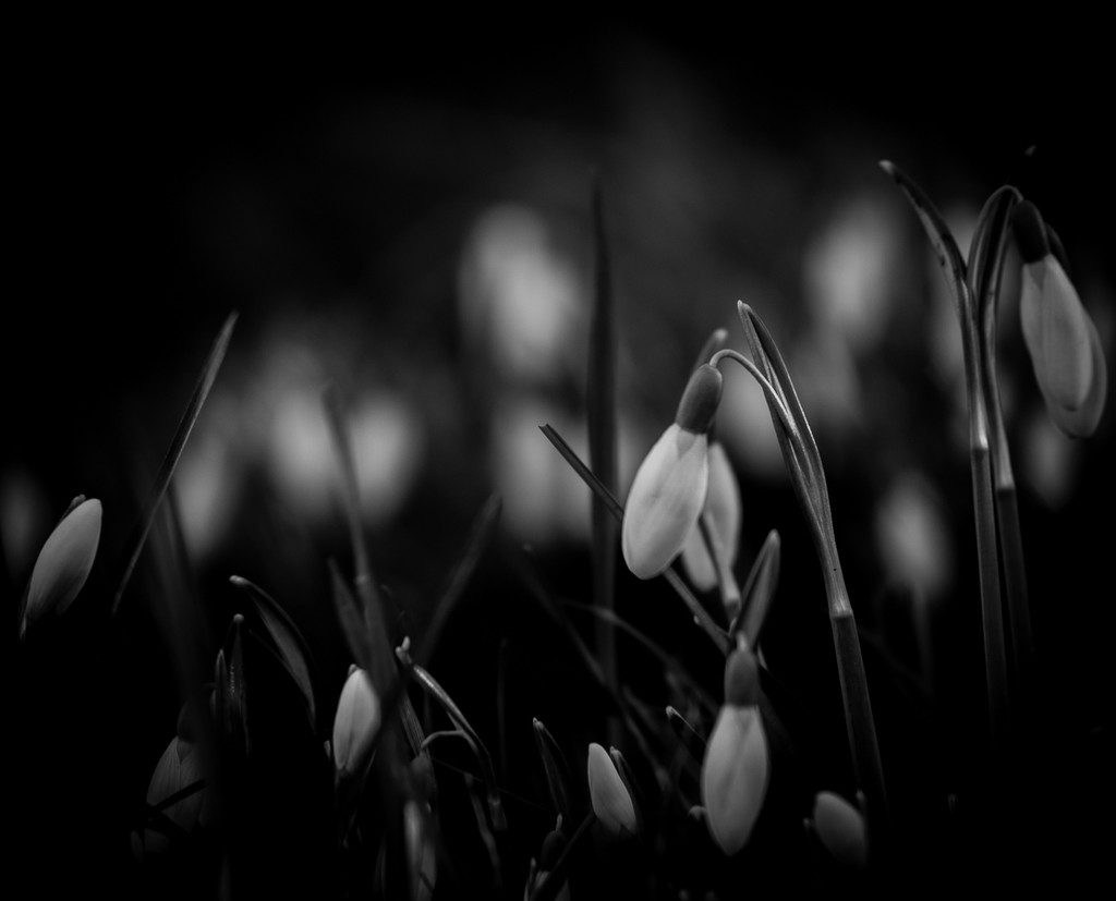 Drops of Snow by newbank