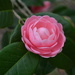 Camellia, Charles Towne Landing State Historic Site, Charleston, SC by congaree