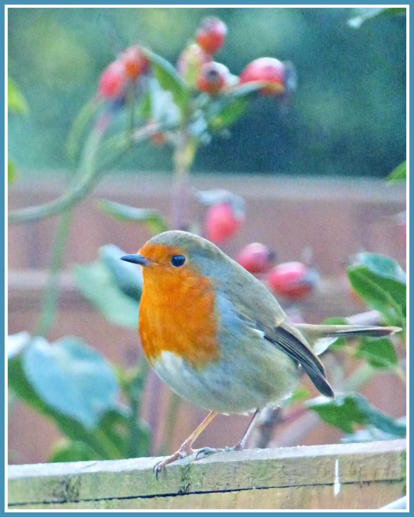 Robin  by beryl