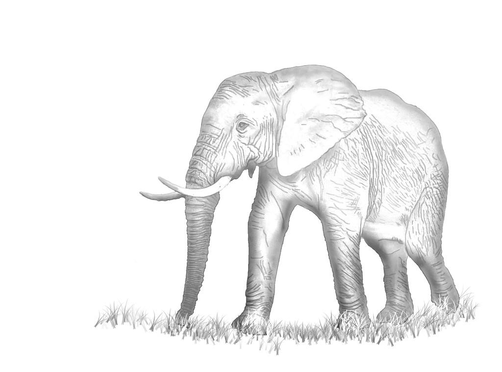 Elephant Sketch by salza
