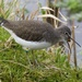 Green Sandpiper by padlock
