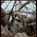 Downy Woodpecker by essiesue