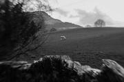 13th Feb 2016 - Lambs in the field