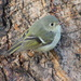 Ruby-crowned Kinglet by cjwhite
