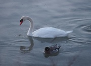 13th Feb 2016 - Swan and Duck