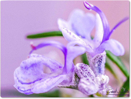 Rosemary For Remembrance by carolmw