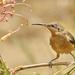 eastern spinebill female by maree_sanderson