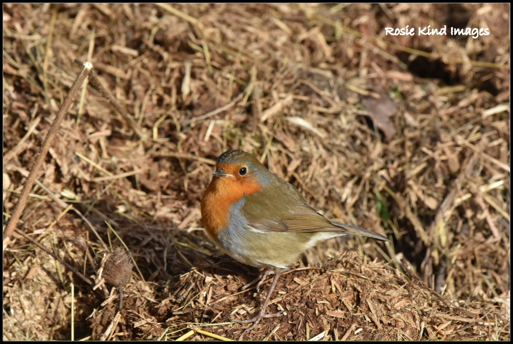 My friendly Wood Lane robin by rosiekind