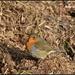 My friendly Wood Lane robin by rosiekind