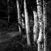 White bark by overalvandaan