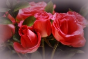 14th Feb 2016 - Valentine Roses